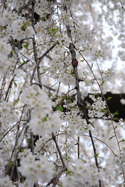 圓明寺のしだれ桜5