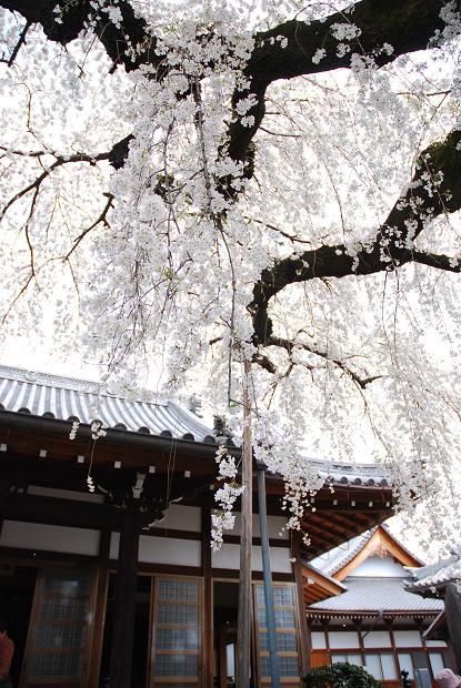 圓明寺のしだれ桜6