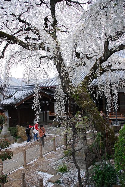 圓明寺のしだれ桜1