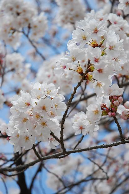 犬山城 桜