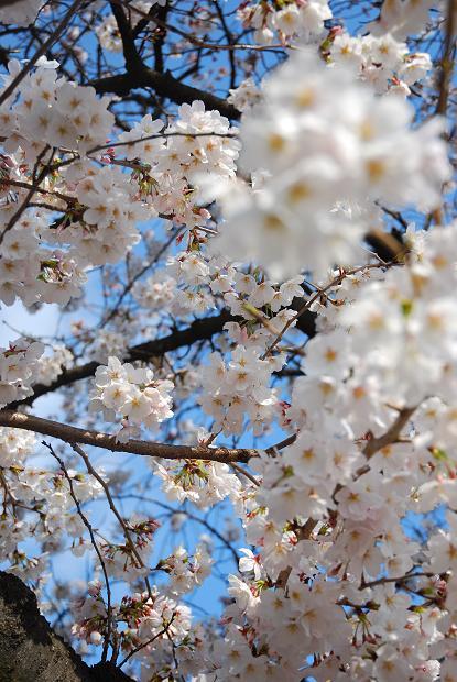 五条川 桜