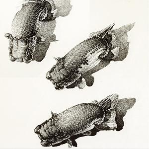 金魚 和風イラスト