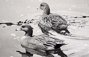 野鳥イラスト かも 水辺の鳥 イラスト