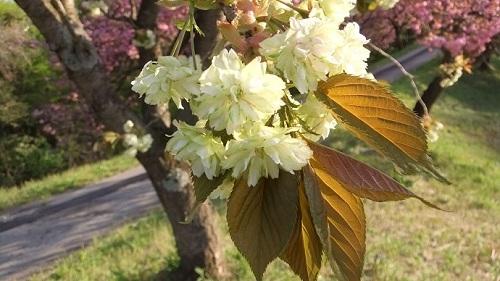 黄色い桜2