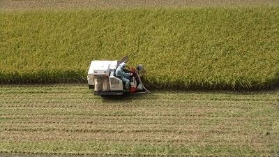 隣の稲刈り