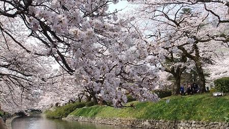 松川のサクラ