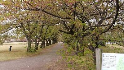 ソメイヨシノの並木は葉桜