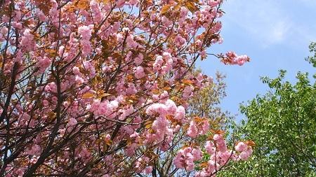 サクラ咲いていました
