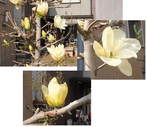 黄色のモクレン