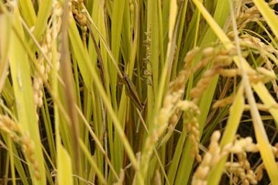 低農薬青森米あきたこまち新米_1