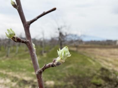 りんごの花つぼみ1