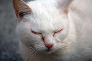 目を閉じるネコ