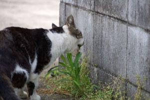 草を食べるG