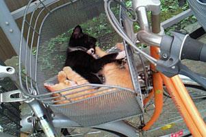 自転車のカゴに野良ネコ