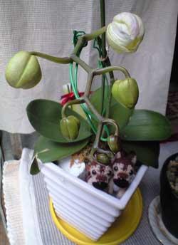 胡蝶蘭つぼみ膨らむ2