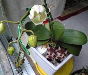 胡蝶蘭つぼみ少し開く3