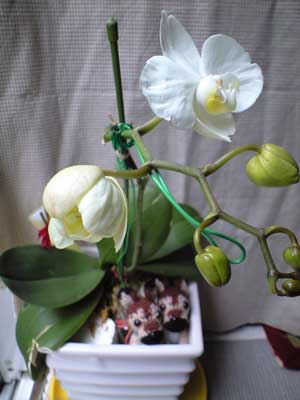 胡蝶蘭つぼみ2つ目膨らむ6