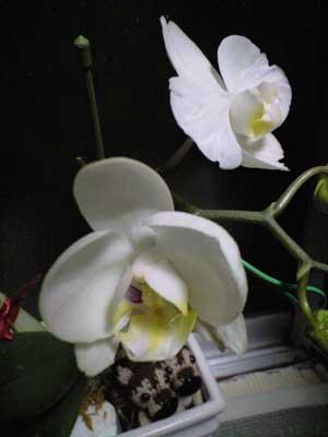 胡蝶蘭つぼみ2かなり開く7