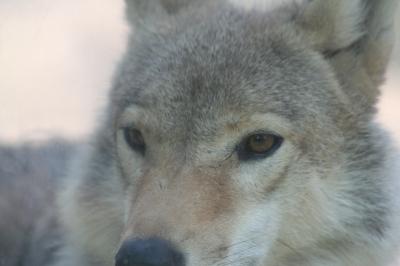 オオカミ大人顔