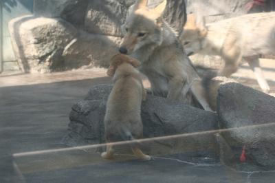 オオカミ子供複数