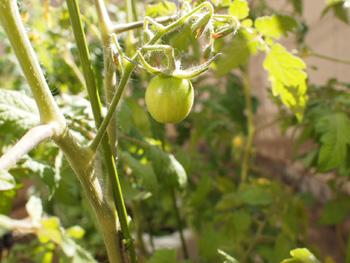 プチトマトの実
