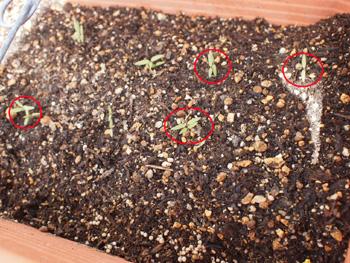 プチトマトの芽