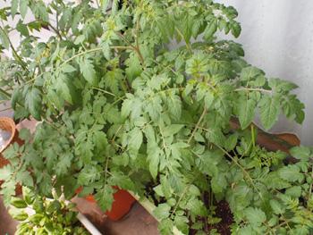 プチトマトの成長過程