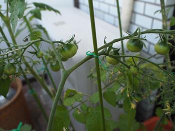 プチトマト再生栽培