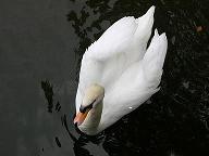お城の白鳥