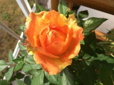 オレンジイエローのバラ