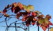 12月7日ブドウ紅葉