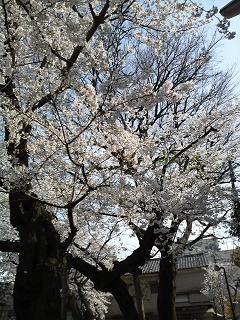 2014 桜 白金