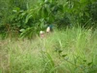 プルーン 草刈