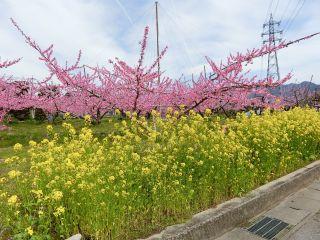 桃の花満開