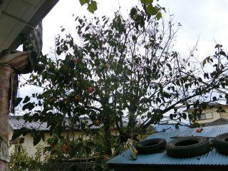 葉が飛んだ柿
