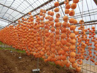 柿剥き終わる