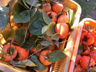柿の収穫始まる
