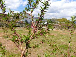 桃の花咲き終わる