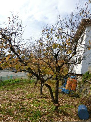 高揚した柿の木