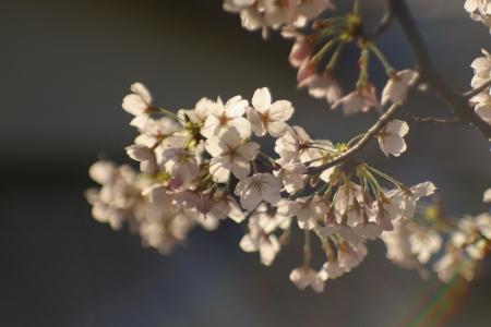 去年の桜です
