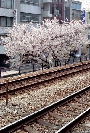 線路沿いの桜がきれいでした