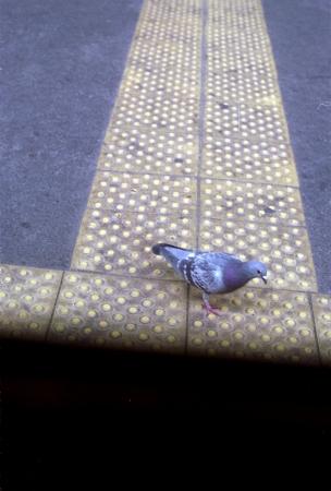 福山駅のホームにいたハト