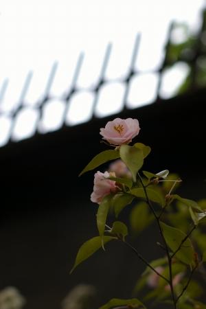 まだ椿って咲いてるんだ・・