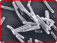 1073R-1菌
