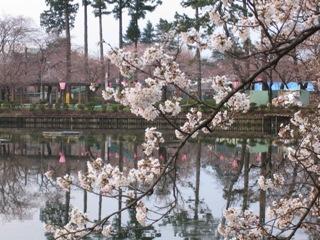 高田公園の桜3