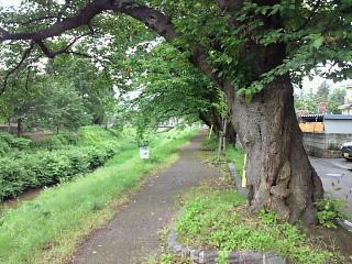 青田川沿いをサイクリング