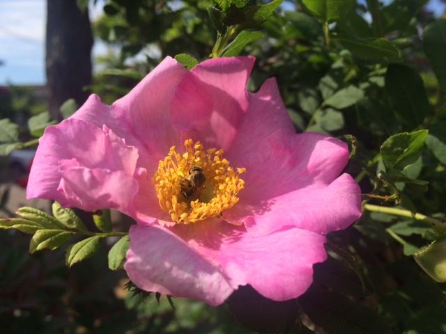 花の蜜をすう蜂