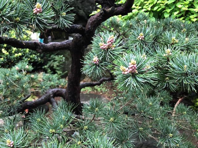 松の芽吹き