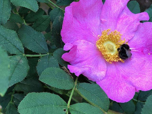 花に集まるクマンバチ
