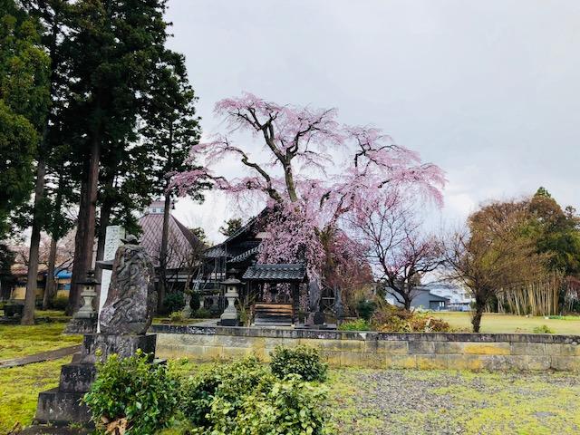 Nいっちゅじの枝垂れ桜